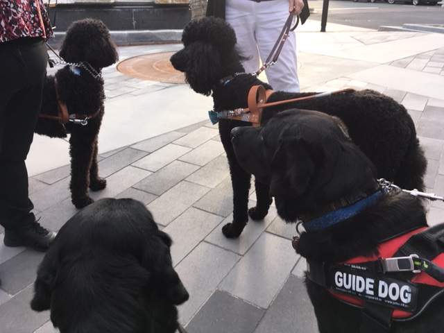 a group of 2 retrievers and 2 poodle guide dogs standing in harness