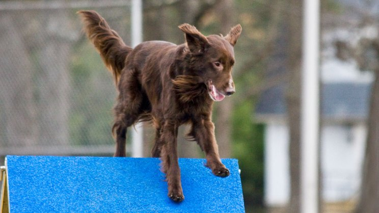 Flat-Coated Retriever running over the top of the a-frame