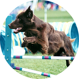 Flat Coated Retriever leaping over a jump at an agility competition
