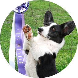 Cardigan Welsh Corgi sitting up next to her agility ribbon