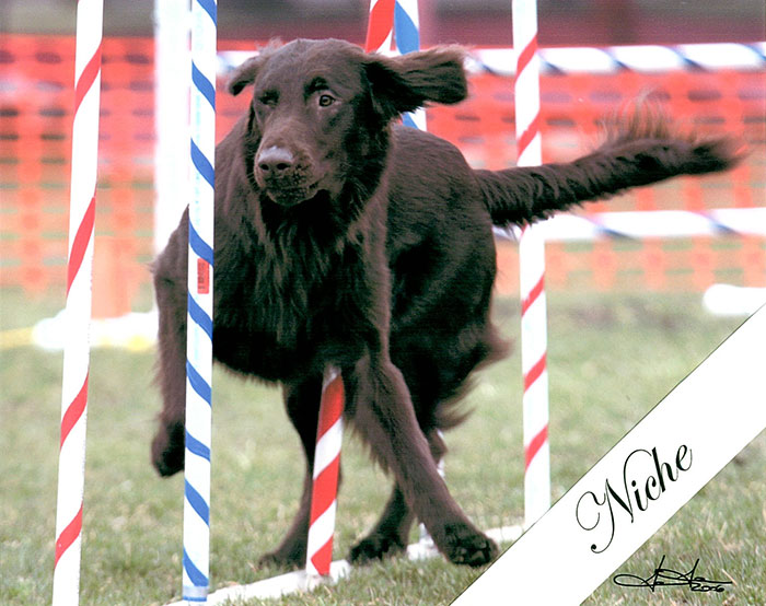 Niche a Flar-Coated Retriever racing through the weave poles