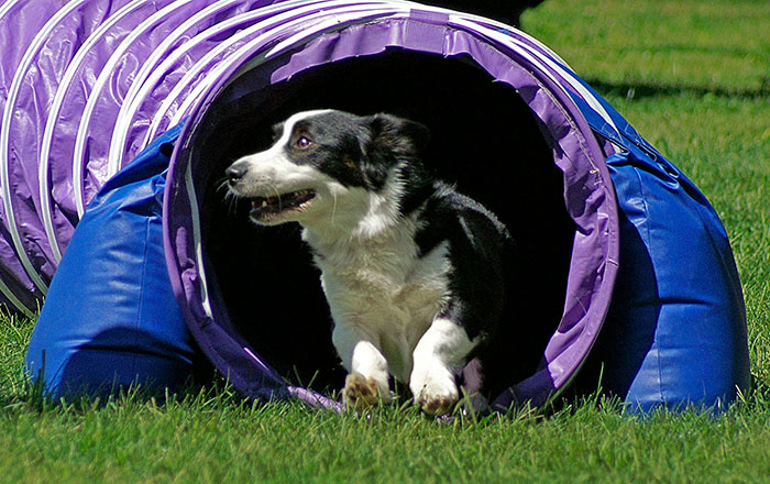Monty the corgi running through an agility tunnel