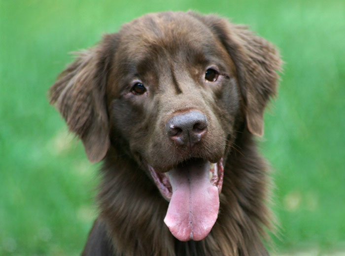 Regal, a Flat Coated Retriever, looking happy