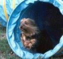 Silky Terrier running through a tunnel