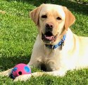 Yellow lab lying in the grass with a toy