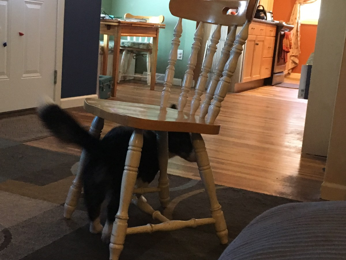 Black and white corgi walking under chair away from camera