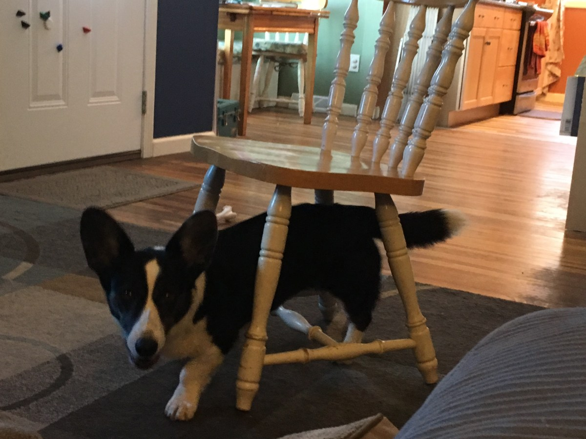 Black and white corgi walking under the chair