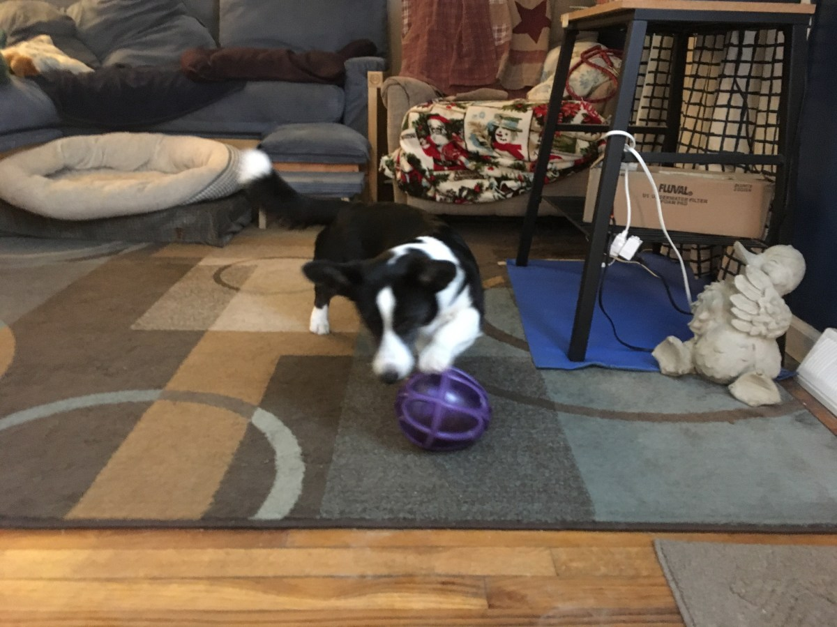 black and white corgi on a blue rug with a purple interactive food toy