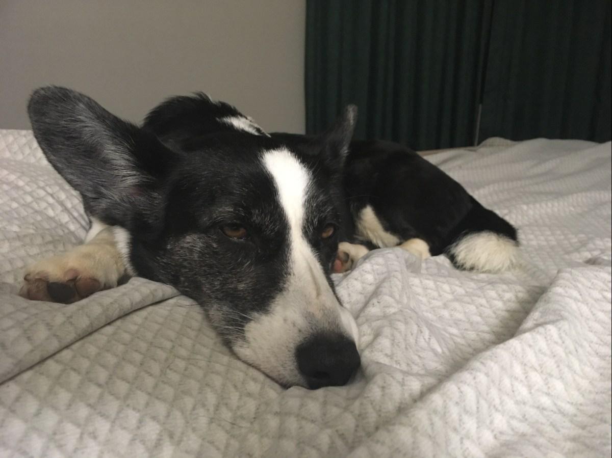 black and white corgi lying on a hotel bed