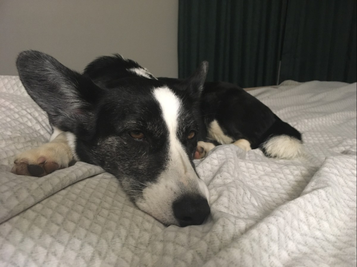 black and white corgi lying on a hotel bed