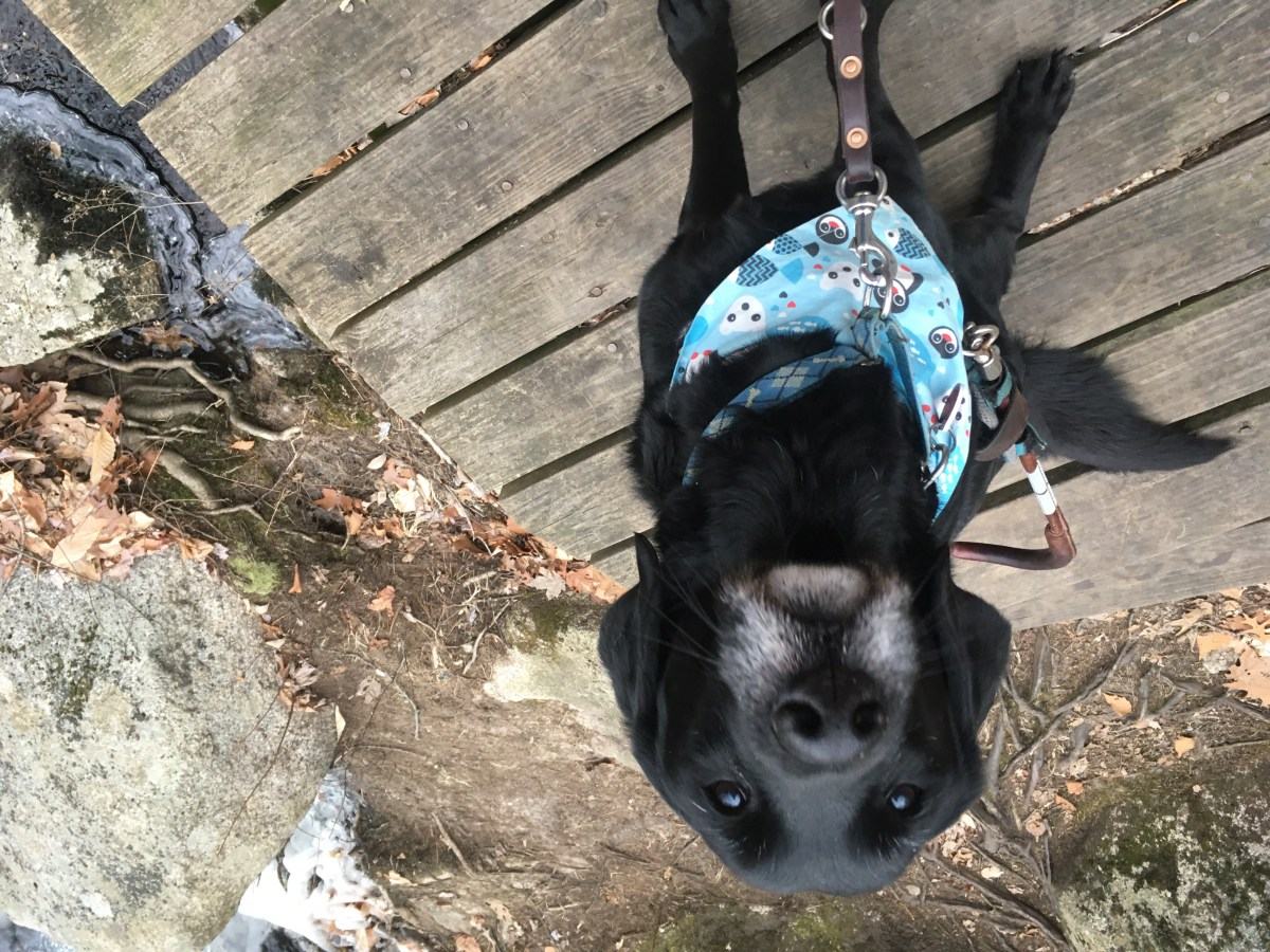Black lab in guide dog harness sits on a wood bridge next to a creek with rocks