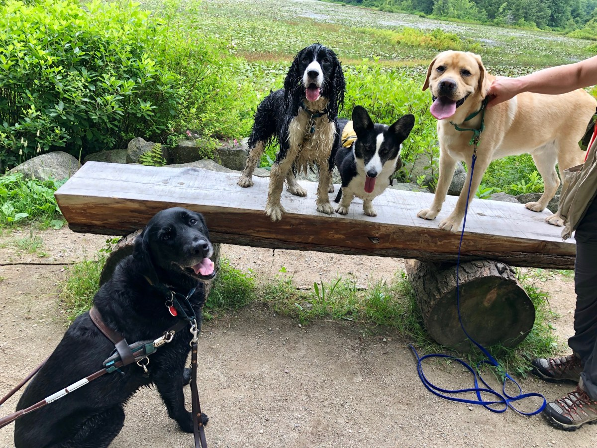3 dogs stand on a bench, a retriever guide dog sits next to the bench