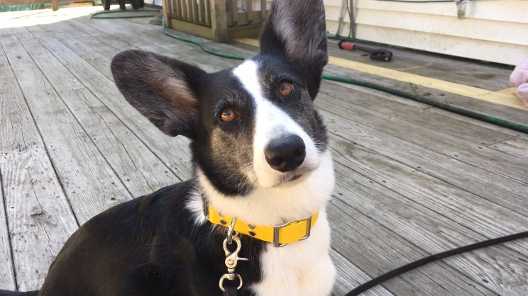 black and white corgi sits on a wood deck wearing a yellow collar