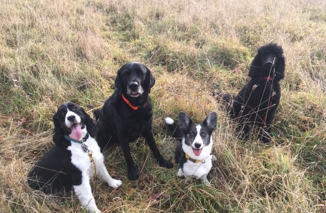 Spaniel, Retriever, Corgi and Poodle sit in a thick grassy meadow