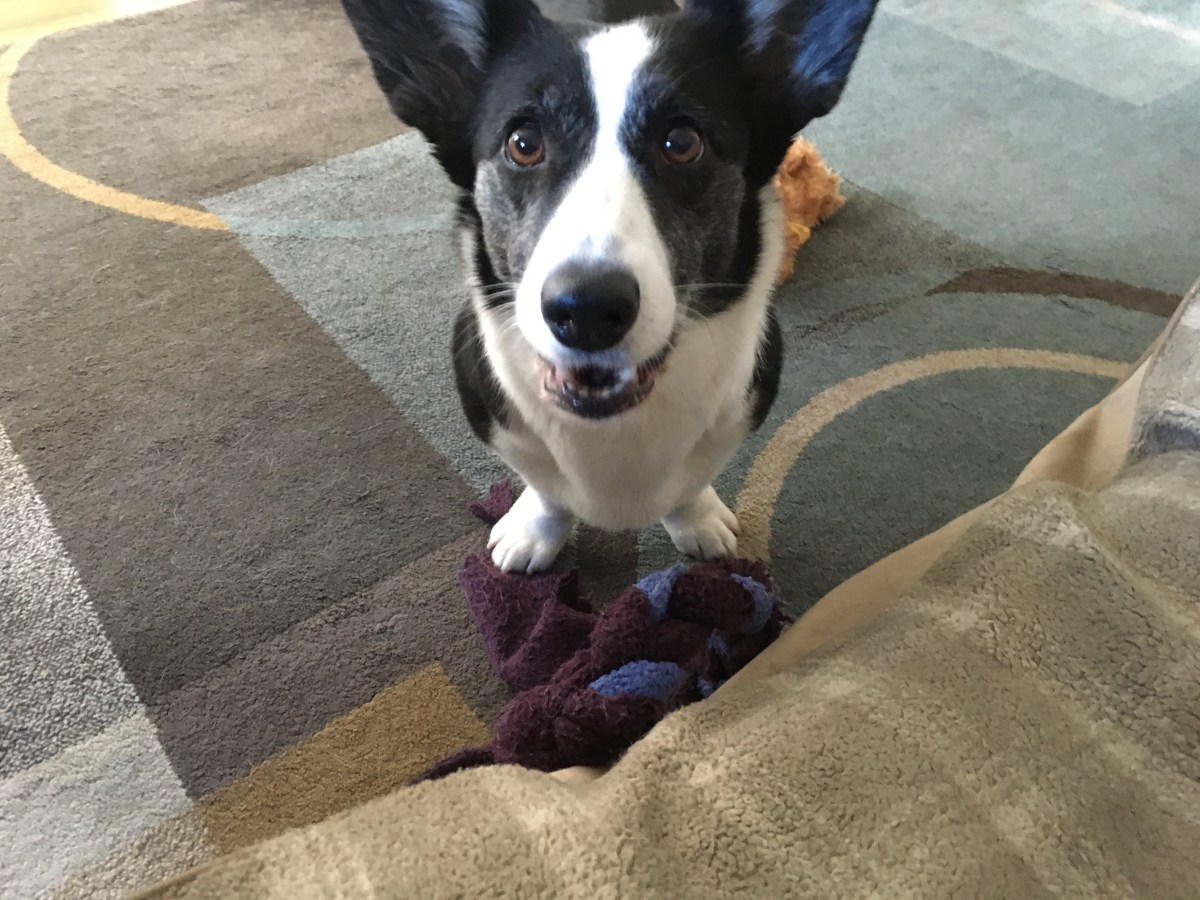 Black and white corgi about to bark on a colorful right