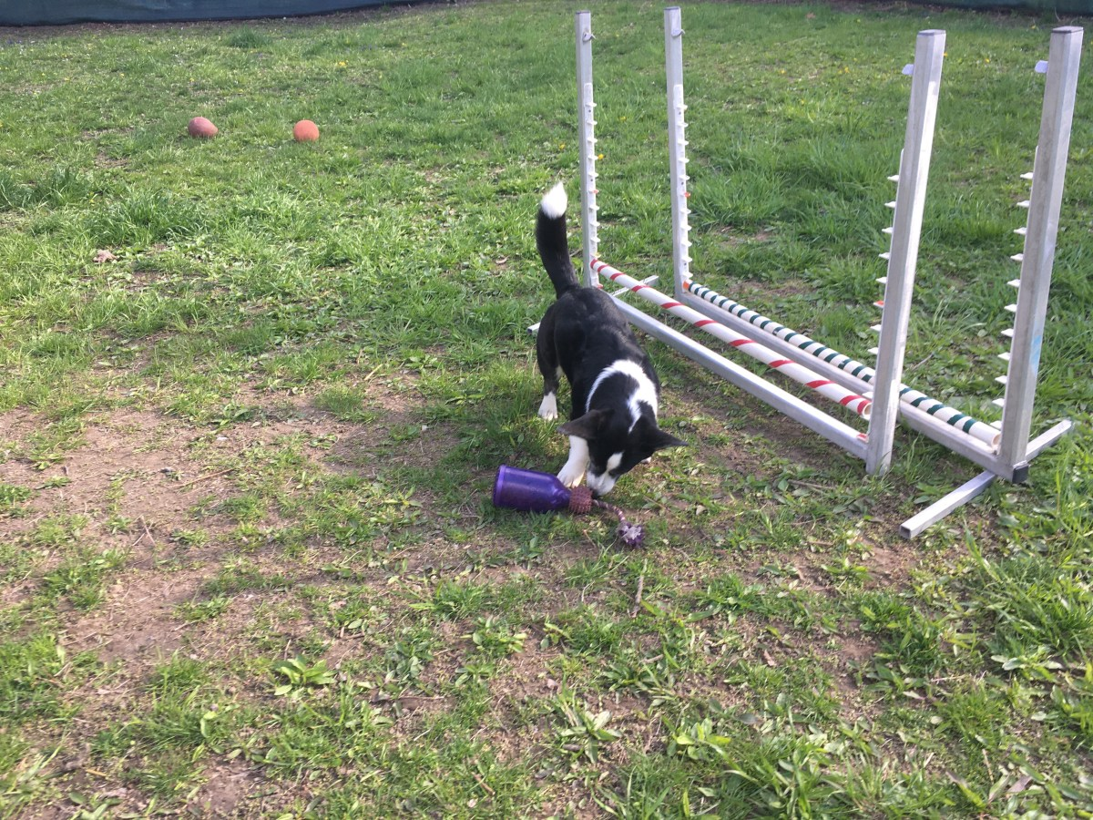 Black and white corgi with a purple food toy next to agility jumps