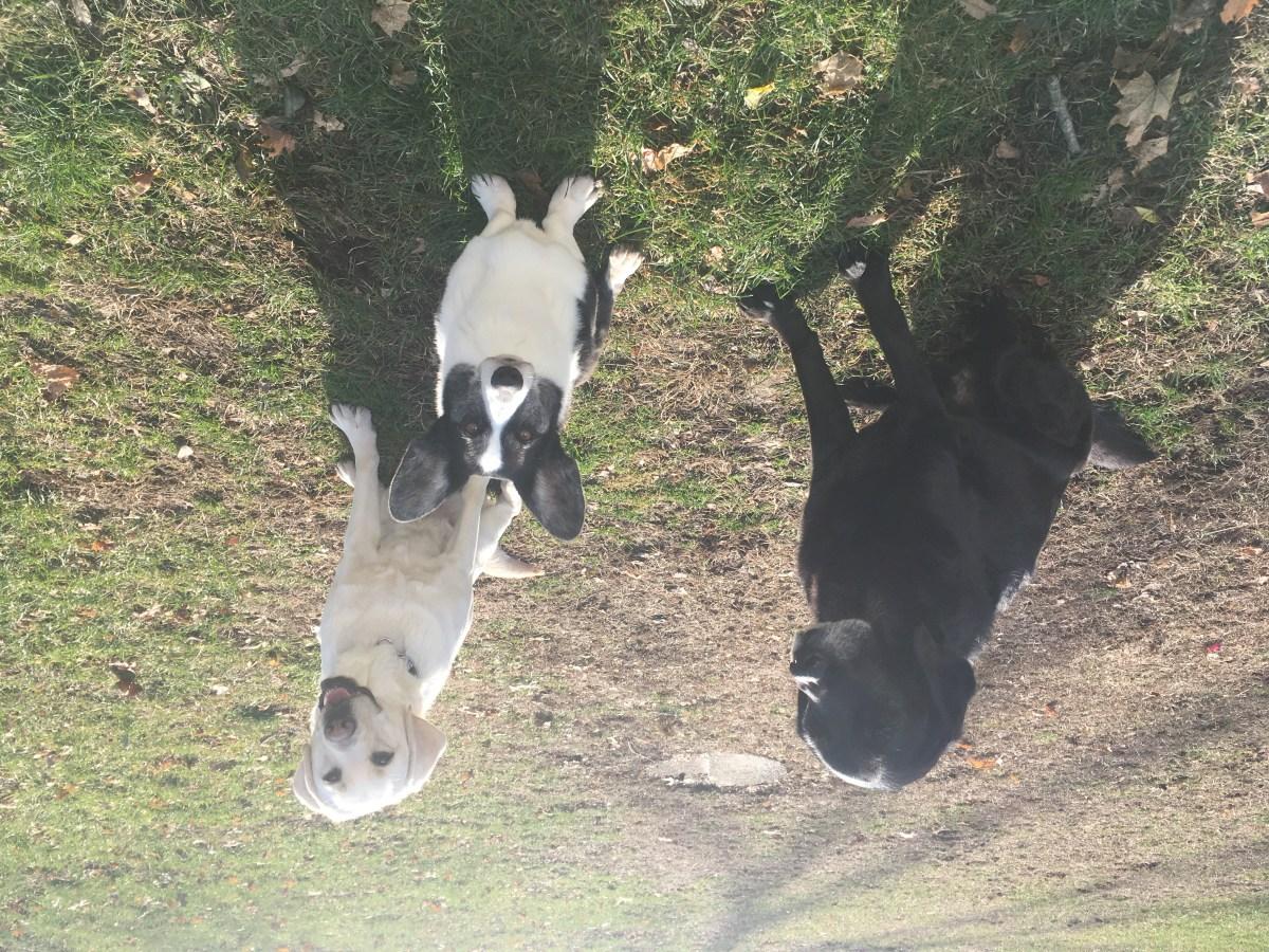 black retriever Tom, yellow Labrador Breezie and black and white corgi Zora all sit next to each other on the green lawn