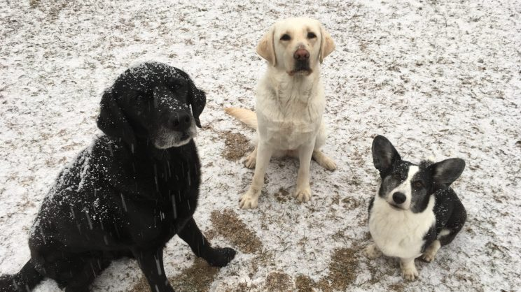 black retriever covered in snow sits next to a yellow Labrador sitting next to a black and white corgi on a lightly snow covered lawn