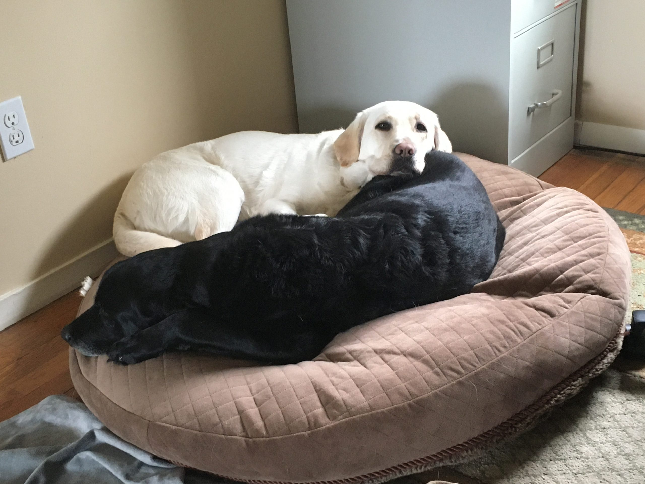yellow lab sleeps next to a black retriever on a brown round dog bed