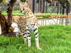 Servals!
