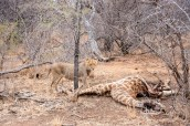 A young lion with a giraffe carcass