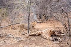 A young lion with a giraffe carcass