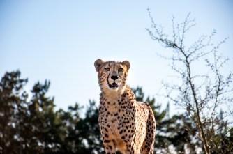 cheetah gaze