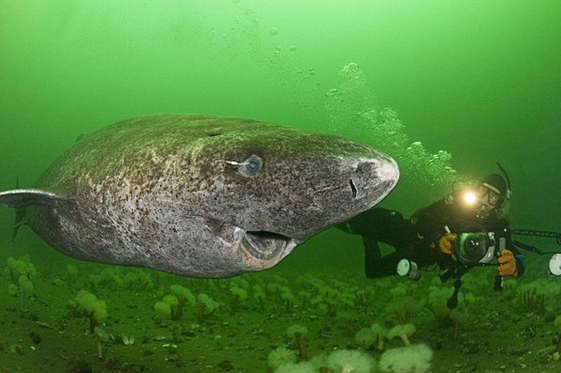 Stërgjyshi i peshkaqenëve nga Groenlanda  ja sa gjatë jeton