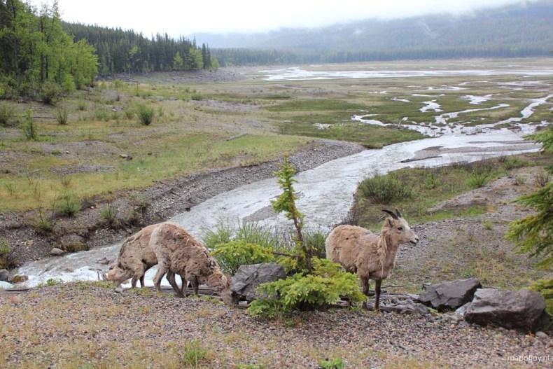 Maligne Lake road, sheep, Alberta, Canada - Map of Joy