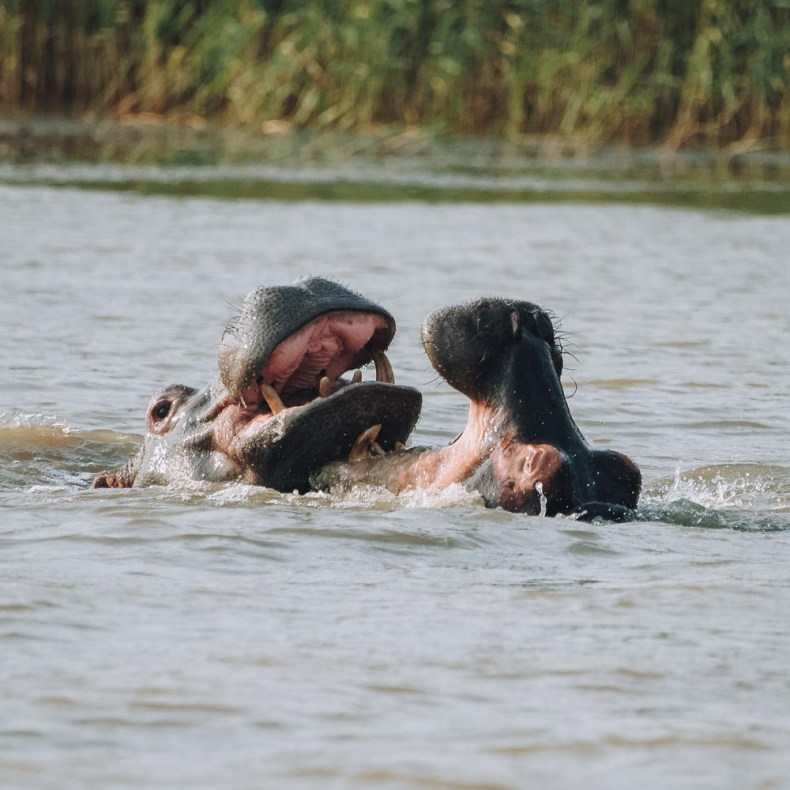 Nijlpaarden St. Lucia, Zuid-Afrika, safari - Map of Joy