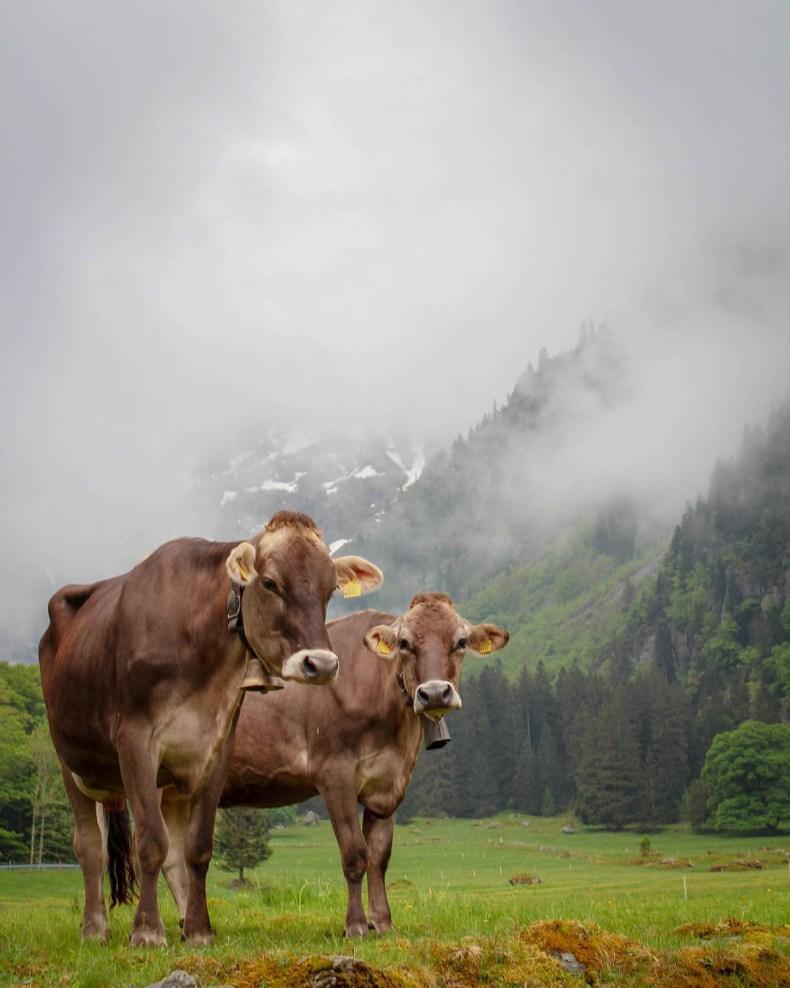 Ziwtserland koeien - Map of Joy