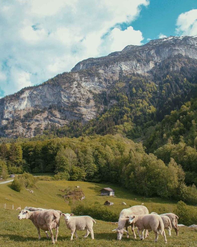 Ziwtserland schapen - Map of Joy