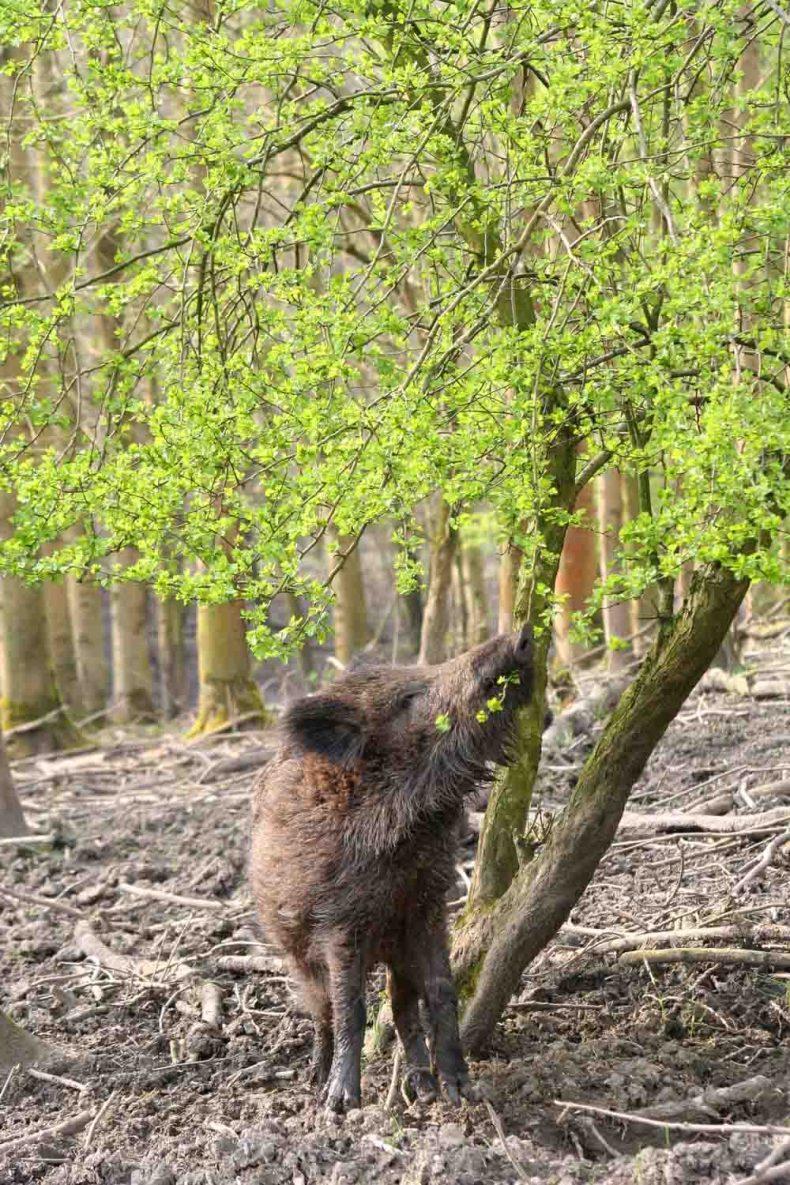 Natuurpark lelystad, wild zwijn, natuur, Flevoland - Map of Joy