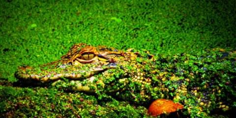 Swamp Meg