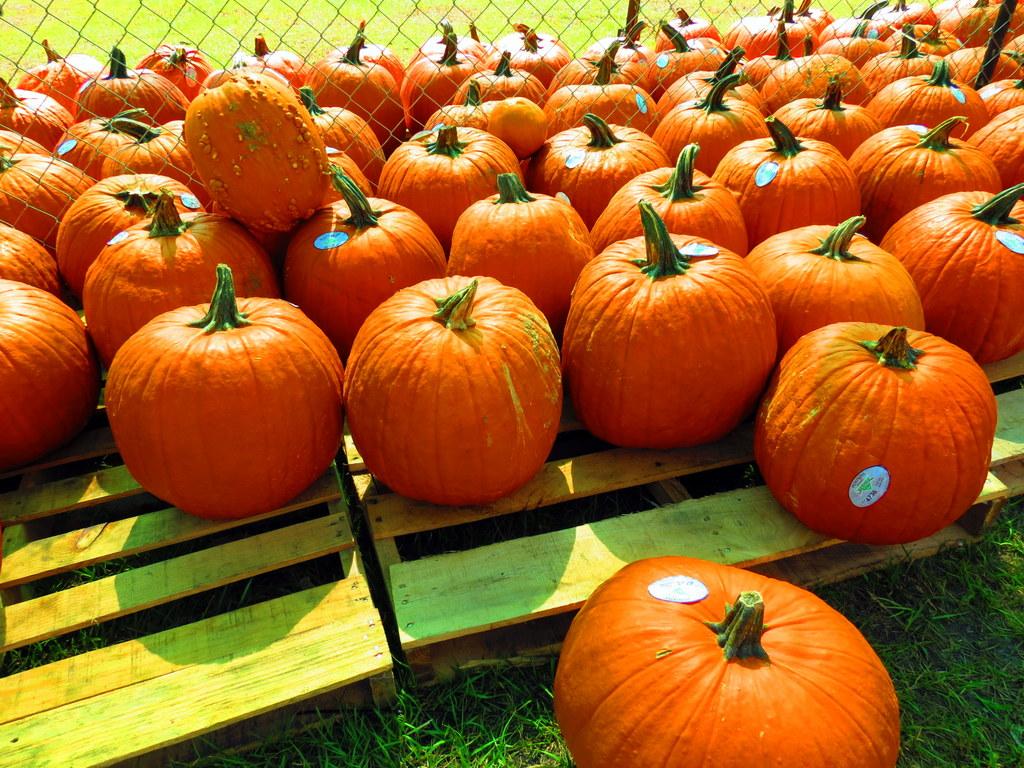 Excursion to a pumpkin patch!