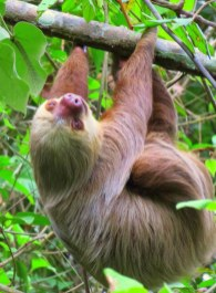 Sloths in the Soberania National Park.