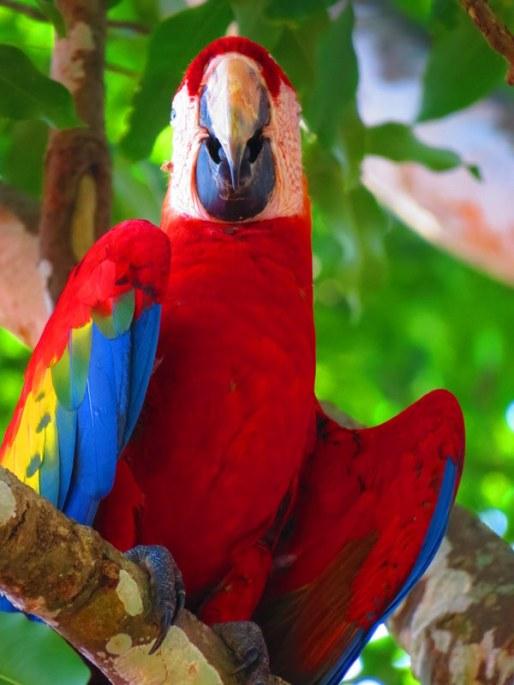 Gorgeous, vibrant exotic birdlife. Red Macaw.