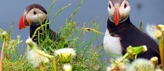 The Almost Money Shot of Icelandic Puffins.