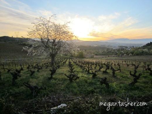A beautiful morning walking through vineyards