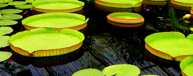 Giant lily pads at Kew Gardens.