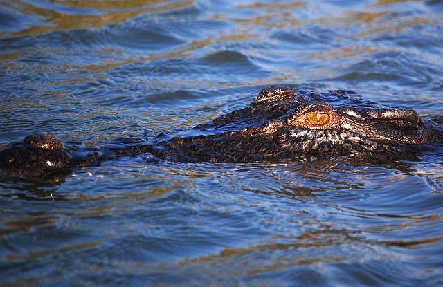 The majestic saltwater Crocodile.