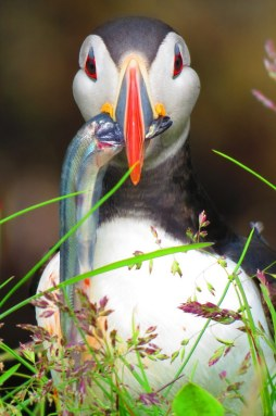 Iceland puffin caught on camera during lunch.