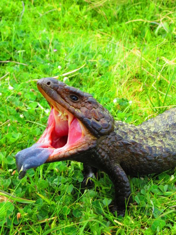 Blue Tongue Lizard - native to Australia