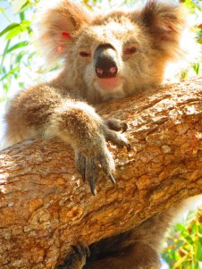 Koalas - an iconic Australian animal