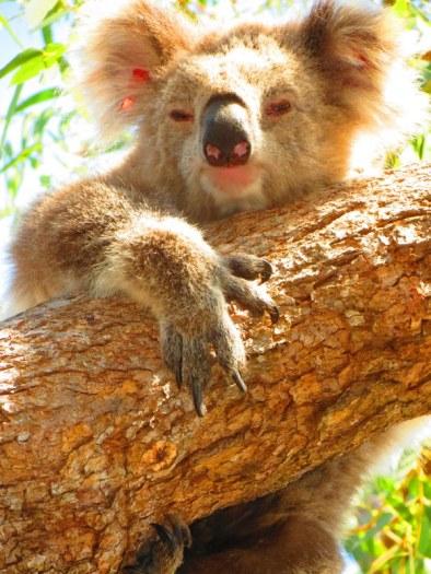 Koalas - an iconic Australian animal
