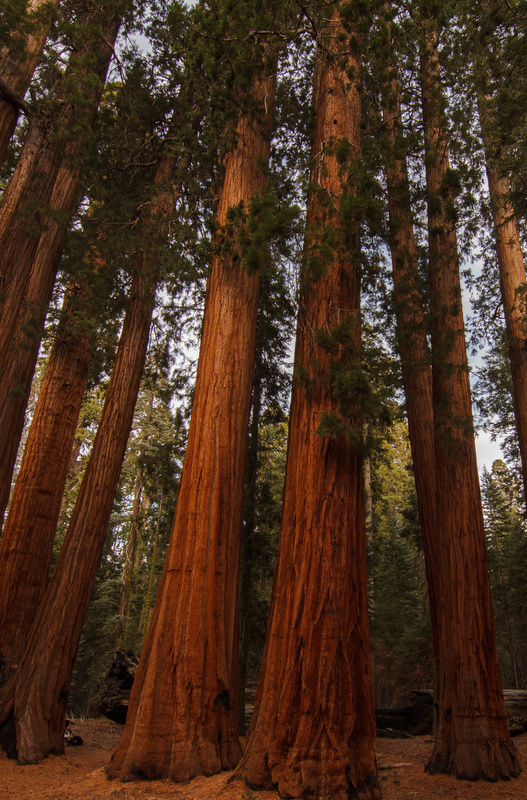 Tallest trees in the world.