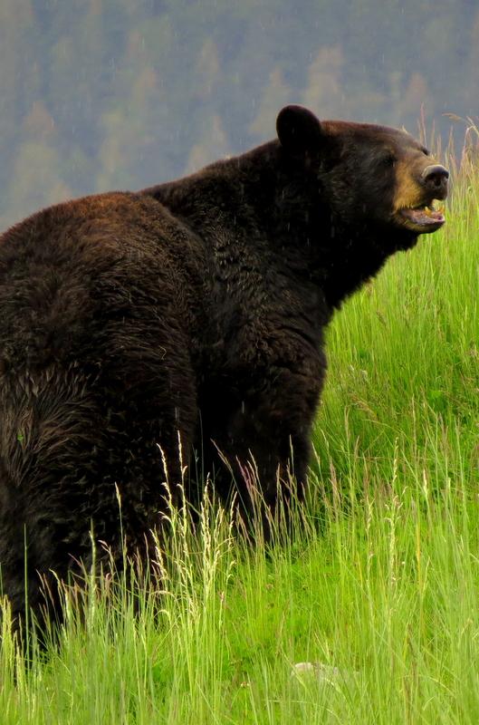 Alaska Black Bear