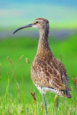 Lake Mývatn Birds