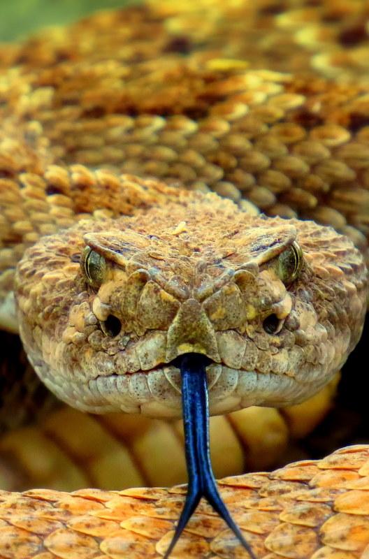 Arizona rattlesnake.