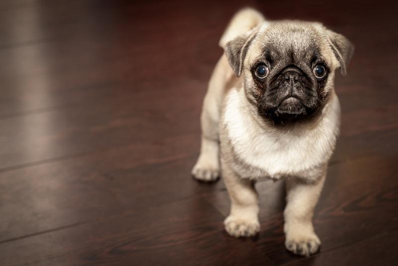 Pet Pug dog